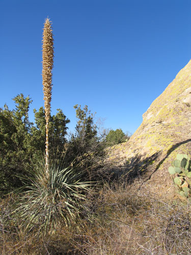 A Yucca Plant, the State Flower of New Mexico, at the Base of the Organ Mountains